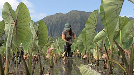 Student works in a loʻi, or wetland taro patch.
